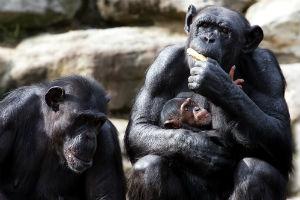 Chimpanse med unge i Mahale nationalpark