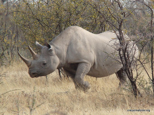 Det sorte næsehorn i Mkomazi nationalpark