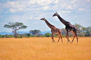 Giraffer på savannen i Katavi nationalpark