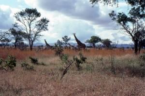 Mikumi Nationalpark med giraffer i Tanzania