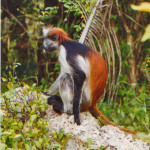Red Colobus monkey i Udzungwa nationalpark