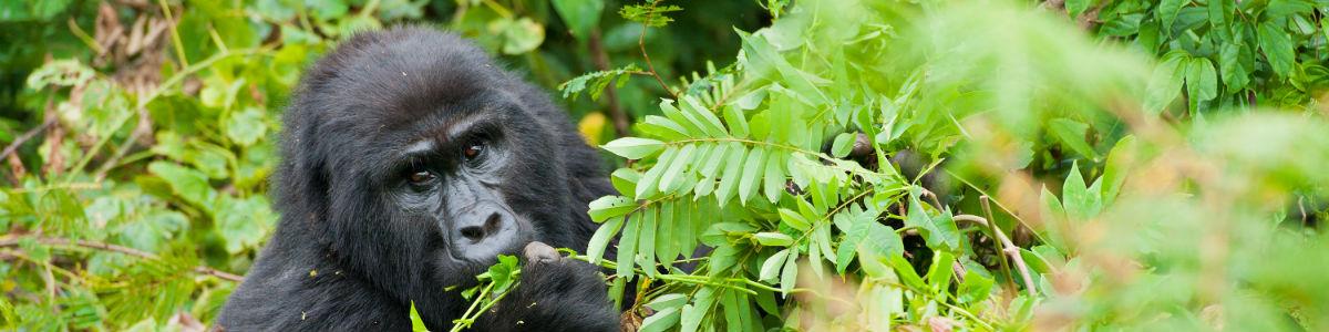 Gorilla safari i Uganda