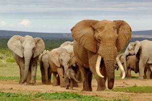 Vandring af elefanter i Selous