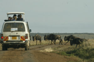 Bøfler i Tanzania ved campingbil
