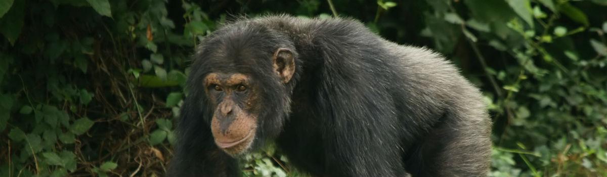 chimpanse i tanzania