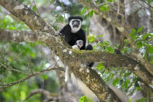 arusha monkeys