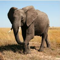 Tanzania elefant