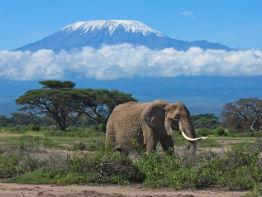 kilimanjaro elefant