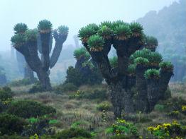 kilimanjaro kaktus