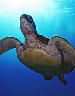 havskildpadden