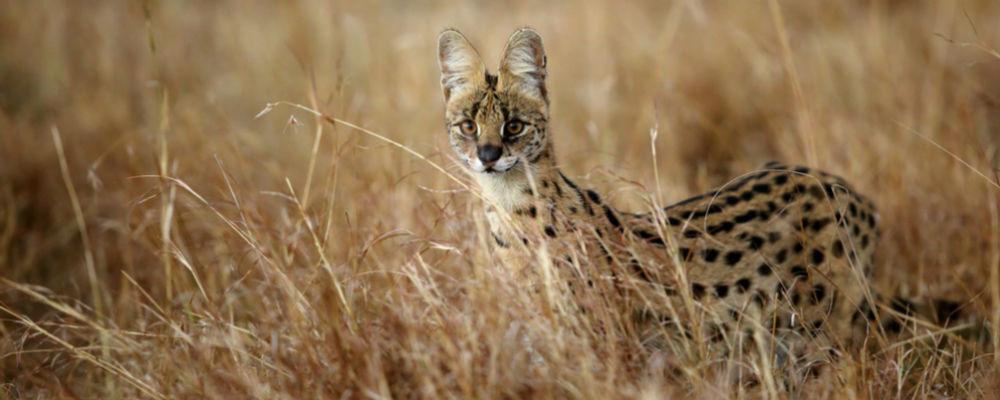 Serval i Tanzania