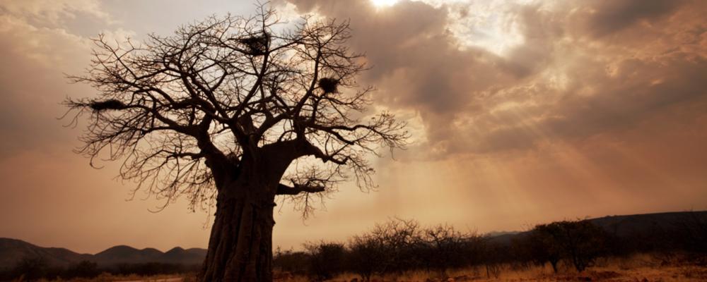 Se savannens storslåede baobab-træer