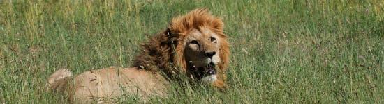 Se løven brøle på Serengeti